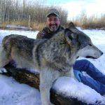wild kakwa outfitters wolf hunts