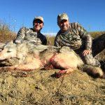 wolf hunts alberta canada